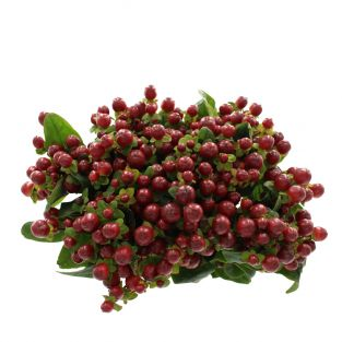 Hypericum Dark Red - Kenya