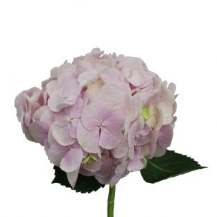 Hydrangea Light Force Pink - Kenya
