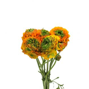 Ranunculus Pon Pon Curly Orange - Italy