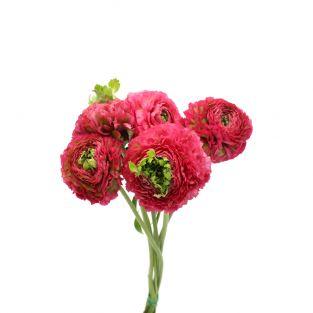 Ranunculus Pon Pon Curly Shocking Pink - Italy