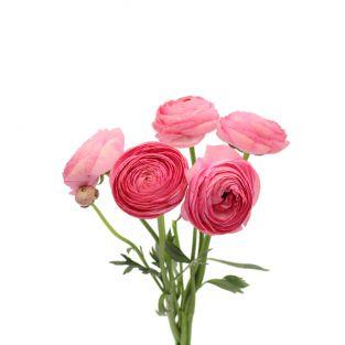Ranunculus Clonney Super Pink - Italy