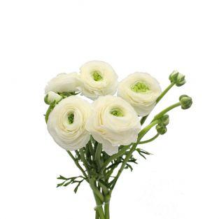 Ranunculus Clonney Super White - Italy