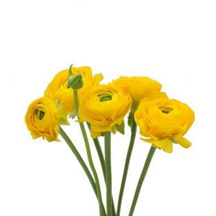 Ranunculus Clonney Super Yellow - Italy