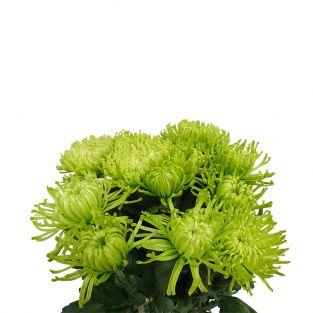 Chrysanthemum Thomas Green - Malaysia