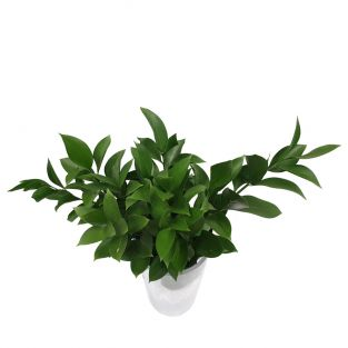 Ruscus Leaves - Vietnam