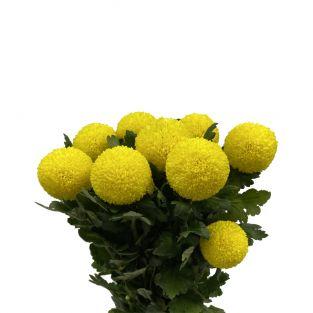 Chrysanthemum Ping Pong Yellow - Malaysia