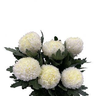 Chrysanthemum Sunlight White - Malaysia