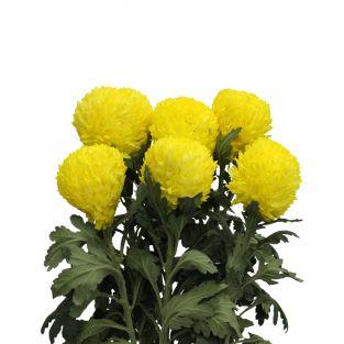 Chrysanthemum Sunlight Yellow - Malaysia