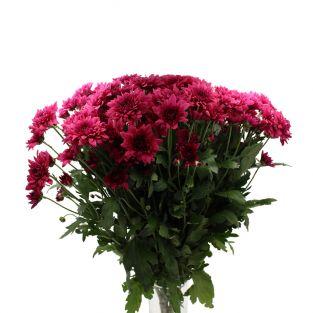 Chrysanthemum Dante (ND) Purple - Malaysia