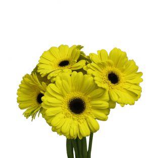 Gerbera Yellow - Malaysia