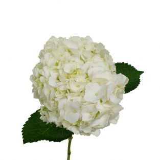 Hydrangea White - Colombia