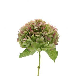 Hydrangea Green - New Zealand