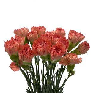 Carnation Orange - China