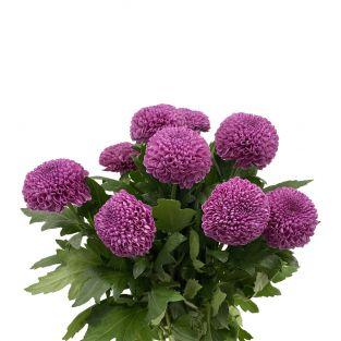 Chrysanthemum Ping Pong Zariah Purple - Vietnam