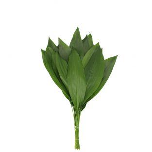 Aspidistra Leaf 60cm - Israel