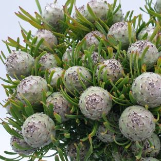 Leucadendron Jade Pearl Spray - South Africa