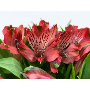 Alstroemeria Nadya Red - Colombia