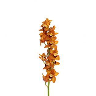Orchid Cymbidium X6 Orange - Holland
