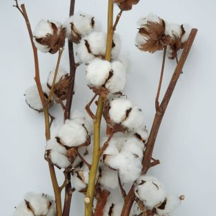Dried Cotton White -Israel