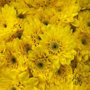 Chrysanthemum Pom Pom Yellow - Malaysia