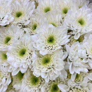 Chrysanthemum Pom Pom White - Malaysia